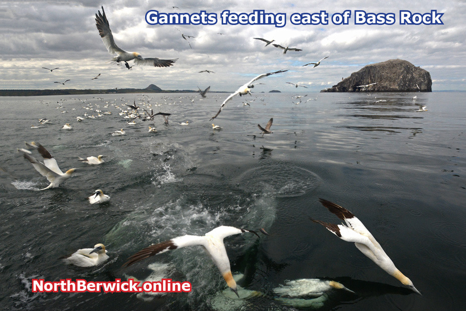Gannets 'fishing' off the Bass Rock east of North Berwick
